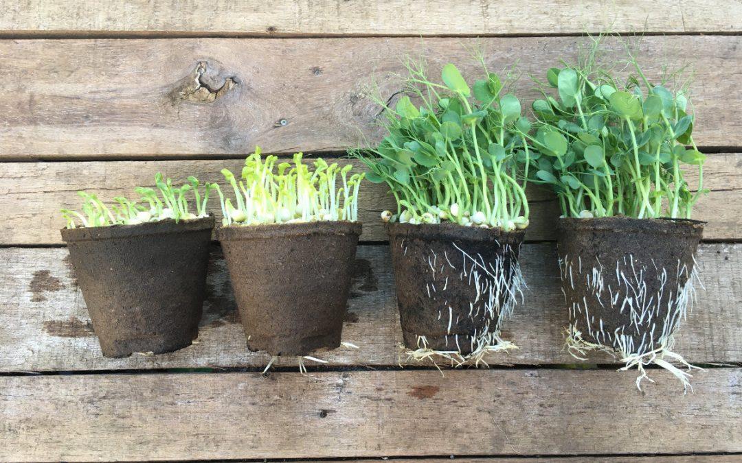 Die Microgreens wachsen und wir wachsen mit.